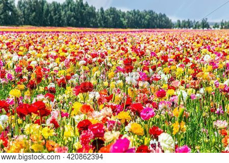 Walk in the world of flowers. Windy cloudy day. Lush yellow and red garden ranunculus in a kibbutz field with a magnificent carpet. Israel.