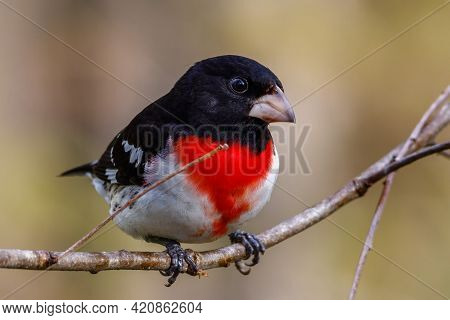 Rose-breasted Grosbeak (pheucticus Ludovicianus) Also Known As A Cut-throat, Perched On A Tree Branc