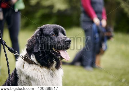 Czech Mountain Dog Sitting During Training. Pet Owner Learning Obedience In Meadow.