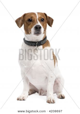 Jack russell (3 years) in front of a white background poster
