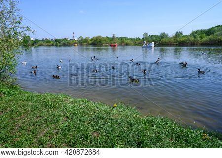 Ducks Swim In The Lake In The Park In The Spring Under The Blue Sky In Sunny Weather. Spring Landsca