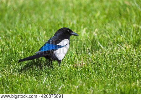A Closeup Portrait Of A Eurasian Or Common Magpie Bird Standing In The Grass Of A Lawn In A Garden L