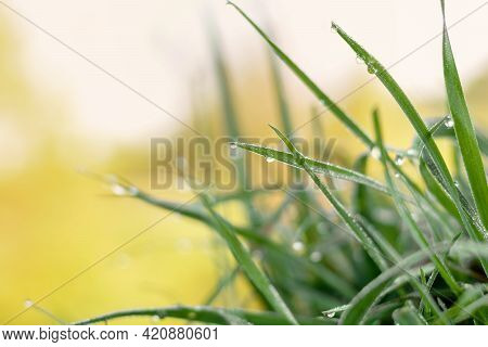 Green Grass With Dew Drops On A Background Of Golden Sunlight. Close-up