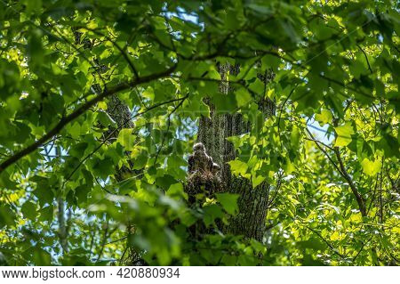 Two Coopers Hawks Chicks Backlit By The Sun Sitting Up Awake In A Nest High Up Into A Tree Surrounde