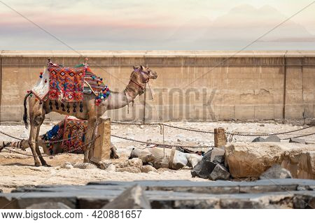 Camel In The Market Against The Wall Of An Ancient Arab City. Tired Camels After A Long Trek Through