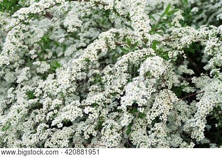 Flowering Bushes Of Spiraéa Cinérea In Spring, Selective Focus, Blurred Background, Horizontal Orien