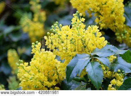 Flowering Bushes Of Oregon Grape (mahōnia Aquifōlium) In Spring, Selective Focus, Blurred Background