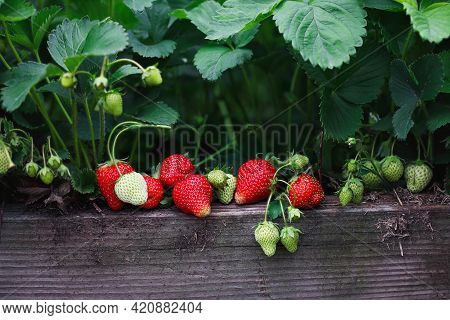Fresh Organic Strawberries Growing In A Raised Strawberry Bed, With Green And Red Berries. Selective