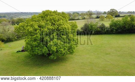 Aerial View Of A Beautiful Oak Tree With Fresh Green Spring Foliage Field Surrounded By Hedges