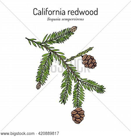 Coastal Redwood Sequoia Sempervirens , State Tree Of California. Hand Drawn Botanical Vector Illustr