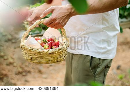 Male Hands With A Basket Full Of Fresh Ripe Strawberries. The Hand Holding The Berries Ripe Strawber