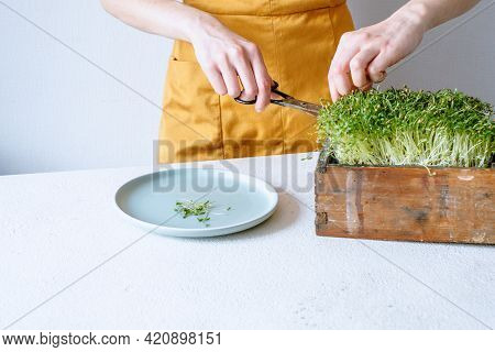 Female Hands Cut Coriander With Scissors Micro Greens Growing At Home. Raw Sprouts, Healthy Eating C