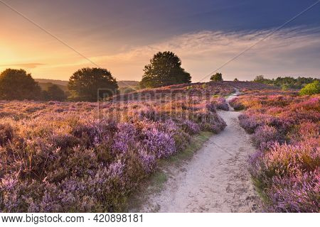 A Path Through Endless Hills With Blooming Heather At Sunrise. Photographed At The Posbank In The Ne