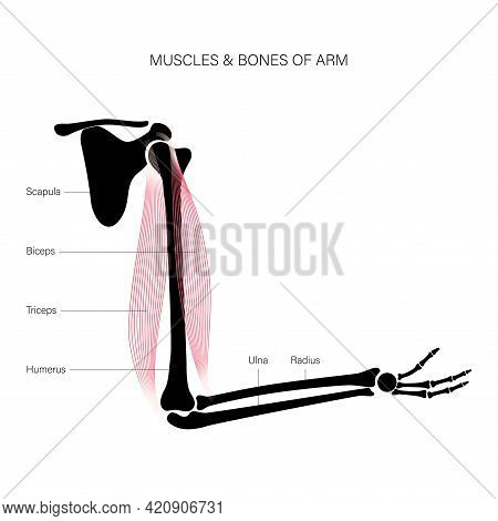 Human Biceps And Triceps. Muscular System And Skeleton Concept. Humerus, Radius, Ulna And Scapula Bo
