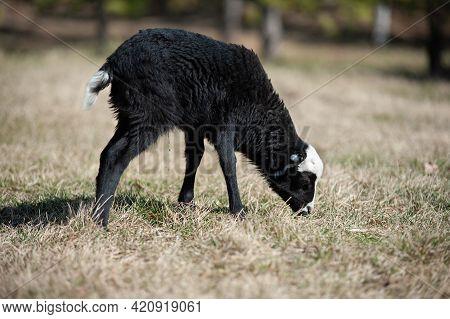 A Little Lamb Walks In A Clearing, A Lamb Nibbles The Grasslittle Lamb Walks In The Meadow