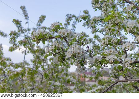 Pear Tree In Full Bloom - Blue Sky Background. Selective Focus