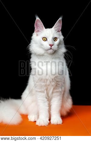 Beautiful Cat Breed Maine Coon Cat Looking At Camera. Front View Portrait Of American Longhair Cat.