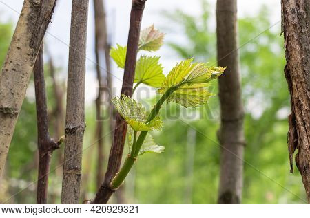 Vine With New Growths In Spring, Young And Beautiful Leaves - Vine Cultivation Concept