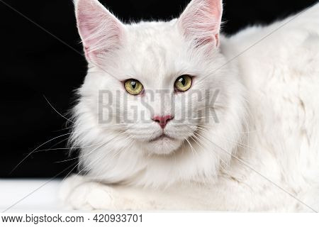 White Longhair American Coon Cat. Portrait Of Beautiful Male Maine Coon Cat Looking At Camera, Lying