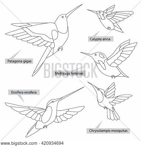 Colibri Birds, Real Latin Names. Black Lines, Contour Style. Illustration Can Be Used For Coloring B