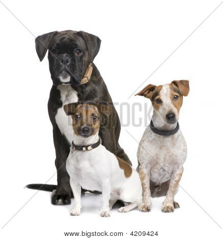 Group Of Three Dogs Boxer, Jack Russell And A Crossbreed