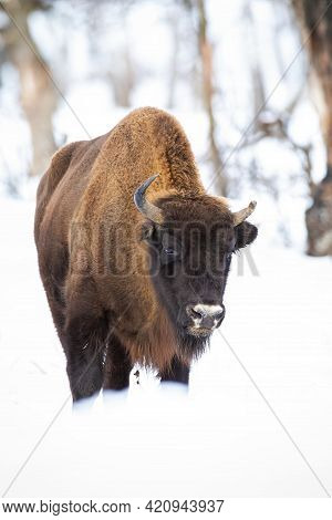 European Bison Wandering In Snowy Woodland In Winter