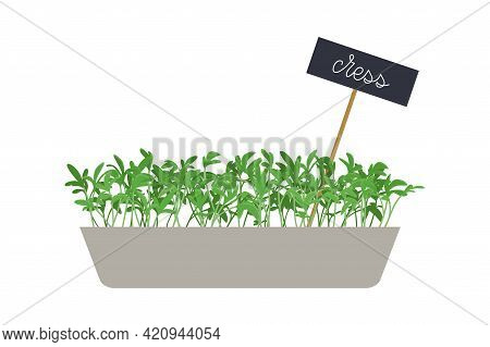 Hand Drawn Cress Salad Microgreens In Box. Healthy Food. Watercress Sprouts With Green Leaves. Edibl