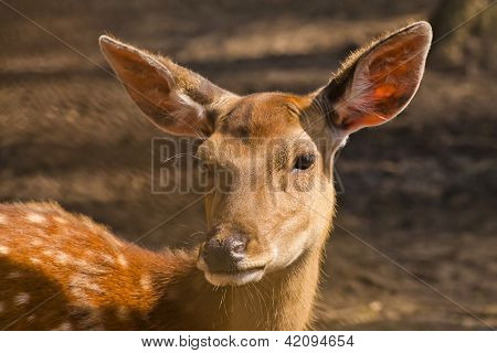 Female Of A Spotty Deer