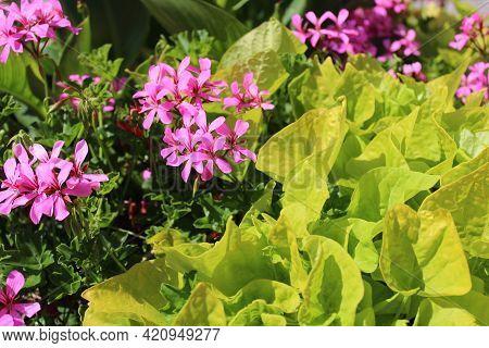 Pelargonium Webcap In The Garden In The Summer