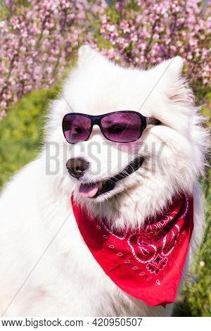 Fluffy White Samoyed Dog With Glasses On The Background Of A Flowering Bush.