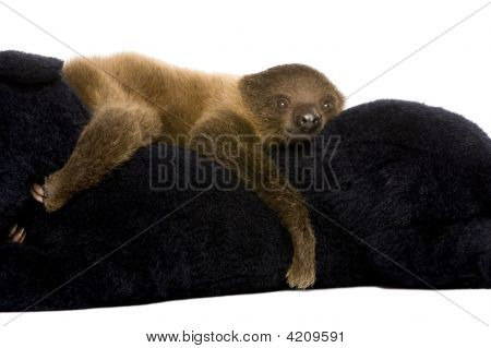 Baby Two Toed Sloth