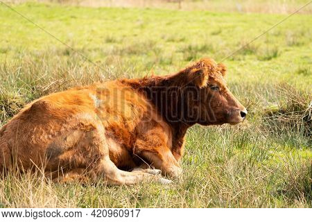 Red Angus Cow, The Cow Lies Relaxed In A Green Dutch Meadow. Loo