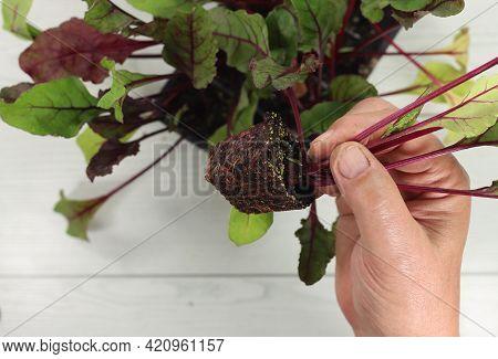 Horticulture Beet Or Beetroot Seedlings Horticulture Beet Or Beetroot Seedlings