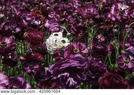 Head Of Pink Flowers Ranunculus Asiaticus Persian Buttercups Closeup On A Field Of Purple Flowers. S