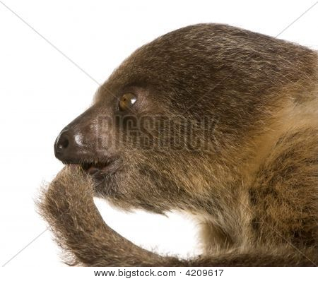 Baby Two-Toed Sloth (4 Months) - Choloepus Didactylus