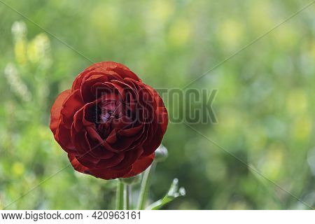 Head Of Red Flower Ranunculus Asiaticus Persian Buttercups Closeup On Blurred Green Background. Sele