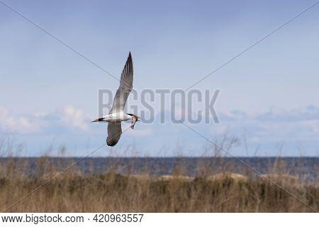 The Caspian Tern ( Hydroprogne Caspia ) On The Hunt.