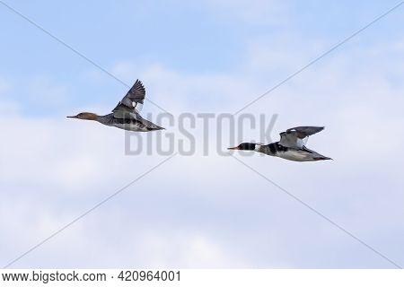The Red-breasted Merganser (mergus Serrator), Drake And Hen In Flight.