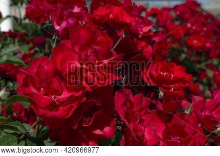 Rosa Gallica, The Gallic Rose, French Rose, Or Rose Of Provins, Is A Species Of Flowering Plant In T