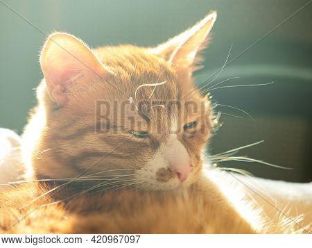 The Cute Sleeping Red Cat In The Sunbeam.