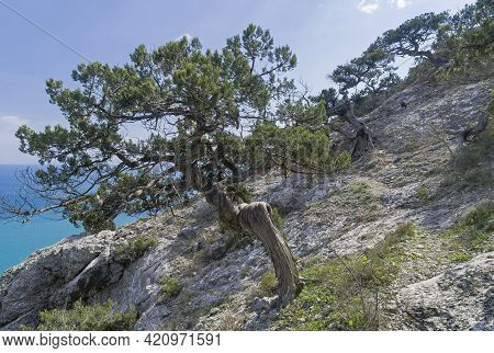 Old Relict Treelike Juniper (juniperus Excelsa) With A Twisted And Curved Trunk. Coastal Rocks In No