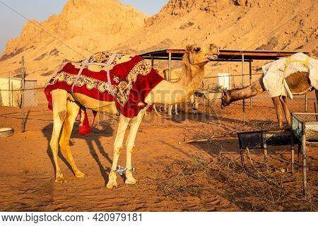 Dromedary Camel (camelus Dromedarius) Covered With Red Blanket On A Farm In Sharjah, United Arab Emi