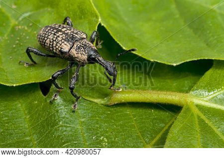 Adult Fig Tree Weevil (aclees Cribratus Gyllenhy). This Beetle Native To Southeast Asia Is Infesting