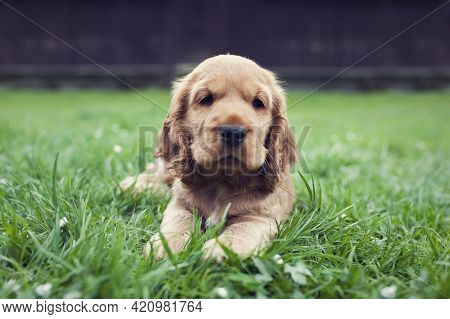 Little Cute English Cocker Spaniel Puppy Lies In The Garden And Look Into The Camera
