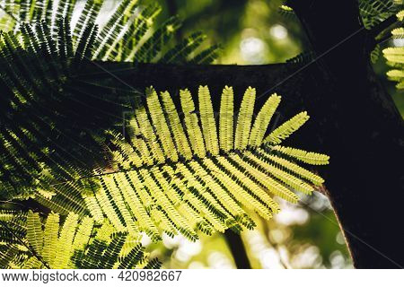 Close-up Of Leaves Of The Flame Tree (delonix Regia (hook.) Raf.). Green Leaf Background Concept. Na