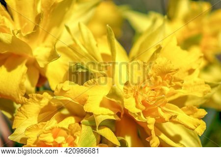 Yellow Terry Daffodils Bloom In Spring, Macro