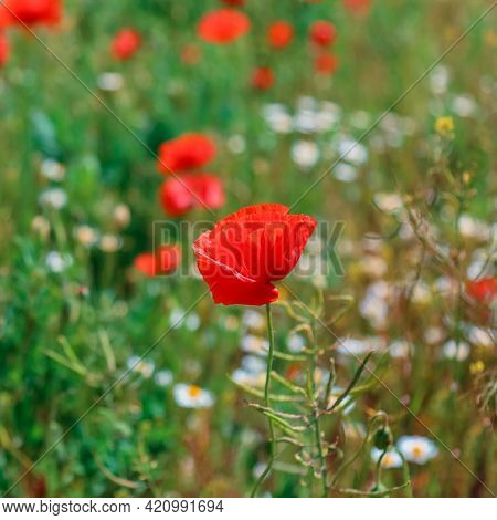 Blooming Poppy Close Up. Beautiful Field With Blooming Poppies As Symbol Of Memory War And Anzac Day