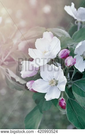 Spring blooming apple flowers, spring garden, natural spring floral background. Spring Apple tree branch in the spring garden. Focus at the central spring flower. Soft filter and cold pastel vintage tones applied