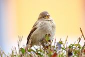 female sparrow standing on a bush over colorful defocused background poster
