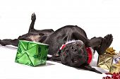 Black Lab type dog playfully posing with Christmas presents. poster
